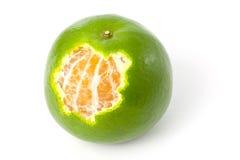 Single green Mandarin orange Royalty Free Stock Images