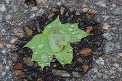 Single Green maple leaf with water drops on it Stock Images