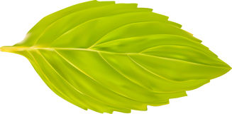 Single green mint leaf illustration Stock Image