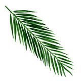 Single green palm leaf isolated Vector Illustration