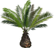 Single green palm tree isolated on white Royalty Free Stock Photo