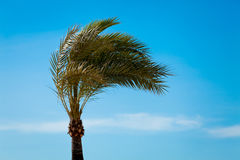 Single green palmtree on blue sky background Stock Images