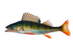 Single green perch on white Royalty Free Stock Images