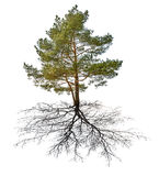 Single green pine with black root Stock Image