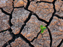 Single Green Plant and Dry Cracked Soil. Single Green Plant Growing in a Drought Sticken Environment Stock Image