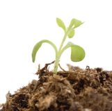 Single green plant sprout. Single green plant sprout isolated on white Stock Photography