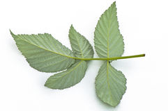 Single green raspberry leaf Stock Photos
