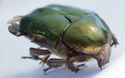 Single green rose chafer Stock Photos