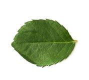 Single green rose leaf  Royalty Free Stock Photos
