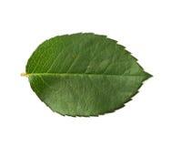 Single green rose leaf  Stock Images