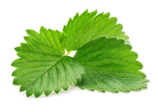 Single green strawberry leaf  isolated on white Stock Photos