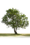 Single green tree. All alone on white background ready for a cut out stock photos