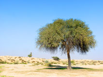 Single Green Tree in Desert. Alone Tree in Desert with blue sky in the background Royalty Free Stock Images