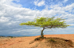 Single green tree in desert under bright cloudy sky Royalty Free Stock Photography