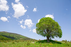 Single green tree on a field Royalty Free Stock Image