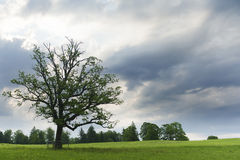Single green tree at meadow Stock Image
