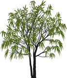 Single green willow isolated on white Stock Photos