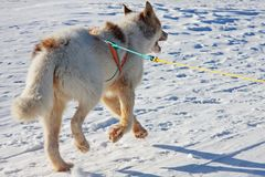 Single Greenlandic Sled Dog Royalty Free Stock Photos