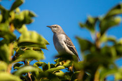 A Single Grey Bird in a Tree. A single grey bird perched in a tree with green leaves and a blue sky stock image