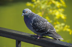 Single grey city pigeon sitting on the railing Royalty Free Stock Images