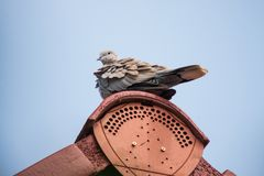 A single grey mourning dove on a roof. A single grey mourning dove on top of a red  roof Royalty Free Stock Photos