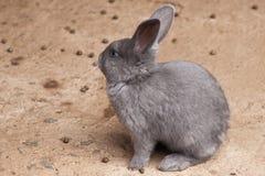 A single grey rabbit. Sitting on the ground Stock Photos