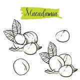 Hand drawn sketch style macadamia set. stock illustration