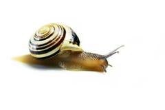 Single Grove Snail, (Cepaea nemoralis). Set on an isolated white background Stock Photo