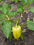 Single growing green pepper Royalty Free Stock Photography