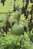 Single Growing Lagenaria Siceraria Bottle Gourd - Portrait Orien Royalty Free Stock Image
