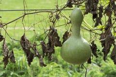 Single Growing Lagenaria Siceraria Bottle Gourd Royalty Free Stock Photography