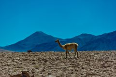 Single guanaco in Altiplano in Chile stock photography