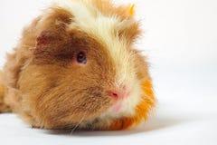 Single guinea pig merino on white background Royalty Free Stock Photography