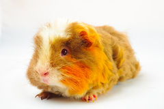 Single guinea pig merino on white background Royalty Free Stock Image