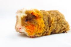 Single guinea pig merino on white background Stock Image