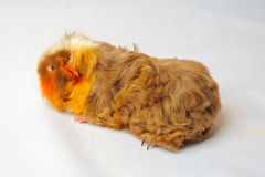 Single guinea pig merino on white background Stock Photography