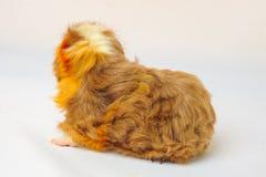 Single guinea pig merino on white background Royalty Free Stock Images