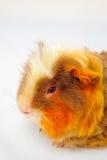 Single guinea pig merino on white background Stock Photos