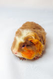 Single guinea pig merino on white background Stock Images