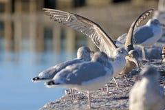 Gulls Warming Resting Morning Sun Stock Photography
