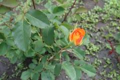 Single half-opened flower bud of orange rose. Single half opened flower bud of orange rose stock image
