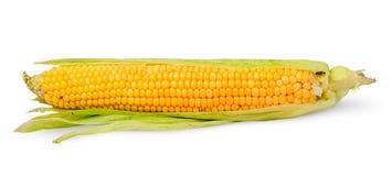 Single half peeled ear of corn Royalty Free Stock Image