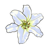 Single hand drawn white lily flower, top view, vector illustration Stock Photography
