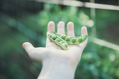Single Hand Holding Fresh Peas royalty free stock photography