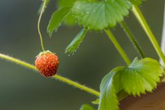 Young strawberry hanging from planter. Single hanging strawberry dangling from planter Stock Photography