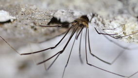 Single Harvestmen Daddy Long-legs Arachnid Spider on Cave Ceiling stock footage