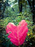 Single heart shaped leaf. Found in the forest surrounded by green foliage stock images