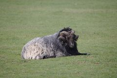 Single Heidschnucke sheep lying on field royalty free stock image
