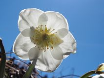 Single hellebore white flower close-up stock photos
