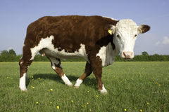 Single Hereford Cow Royalty Free Stock Images